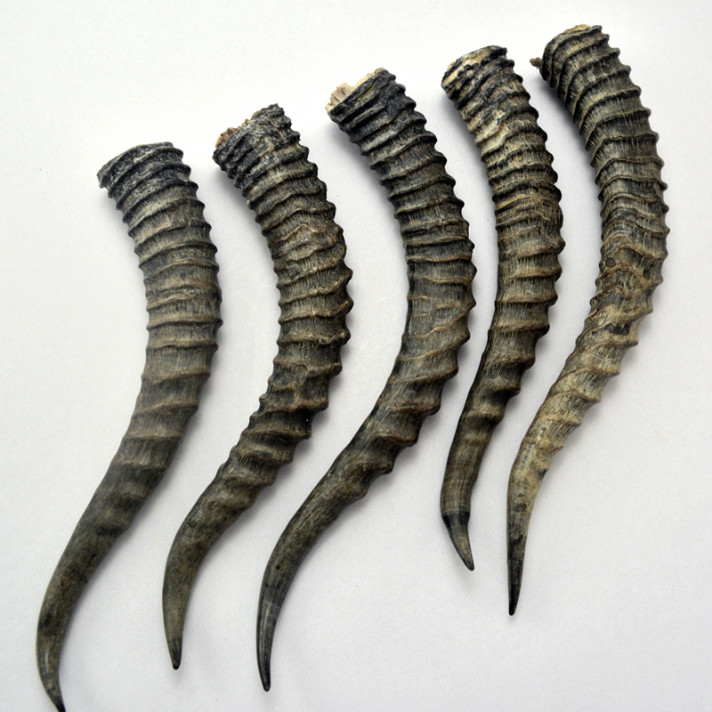 Natural Antelope Horns Decor Antlers Make Knife Handle Material