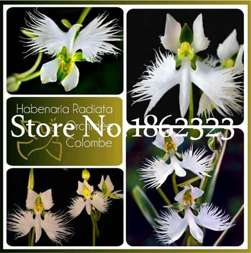 200 Pcs/Lot White Egret Orchid Flower Bonsai Plants Rare Peace Pigeon Orchidee Flower Potted Planting For Home Garden Decoration