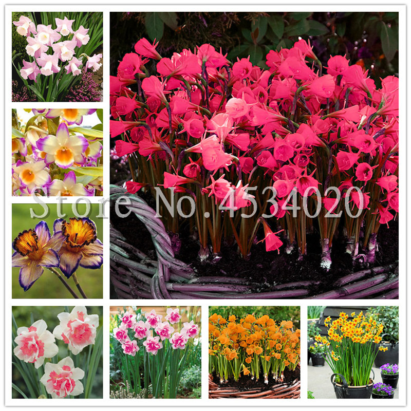 100 Pcs/bag Narcissus Bonsai Aquatic Plants Double Petals Daffodil Bonsai Flower Flores DIY Potted Ornamental Garden Plant