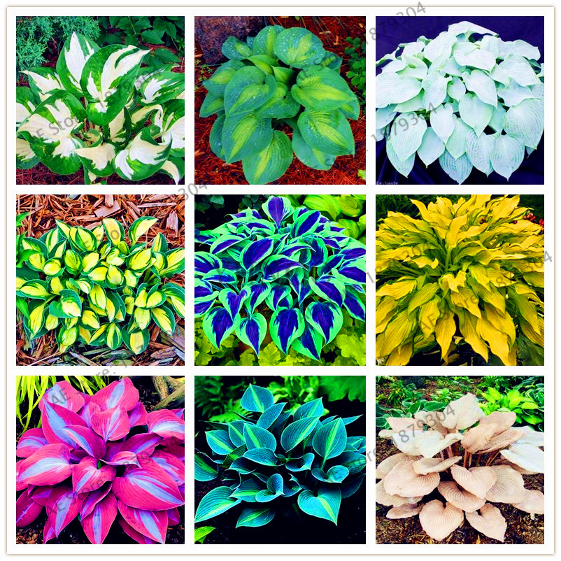 Plants Flowers Bath Salts Lovely Hosta Essence 100Pcs XZZ-26