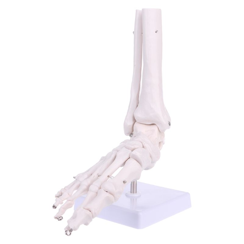 Life Size Foot Ankle Joint Anatomical Skeleton Model Medical Display Study Tool D08B