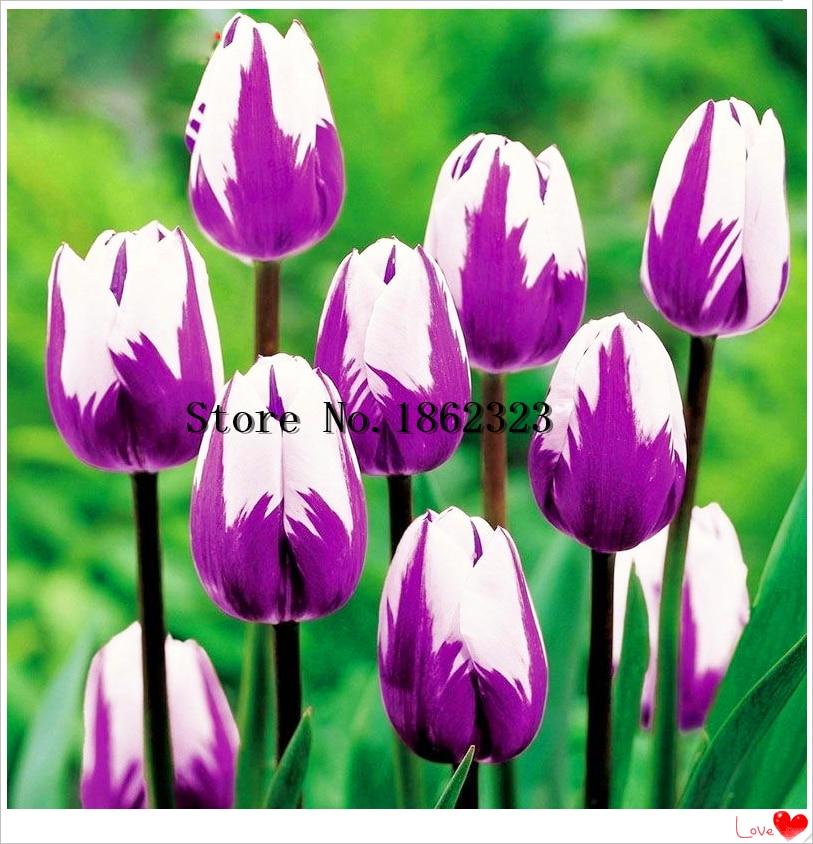 100PCS/bag HOT Rainbow Tulip Bonsai Rare Flowers Perennial Bonsai Plant Gift For Home Garden Courtyard Beautify