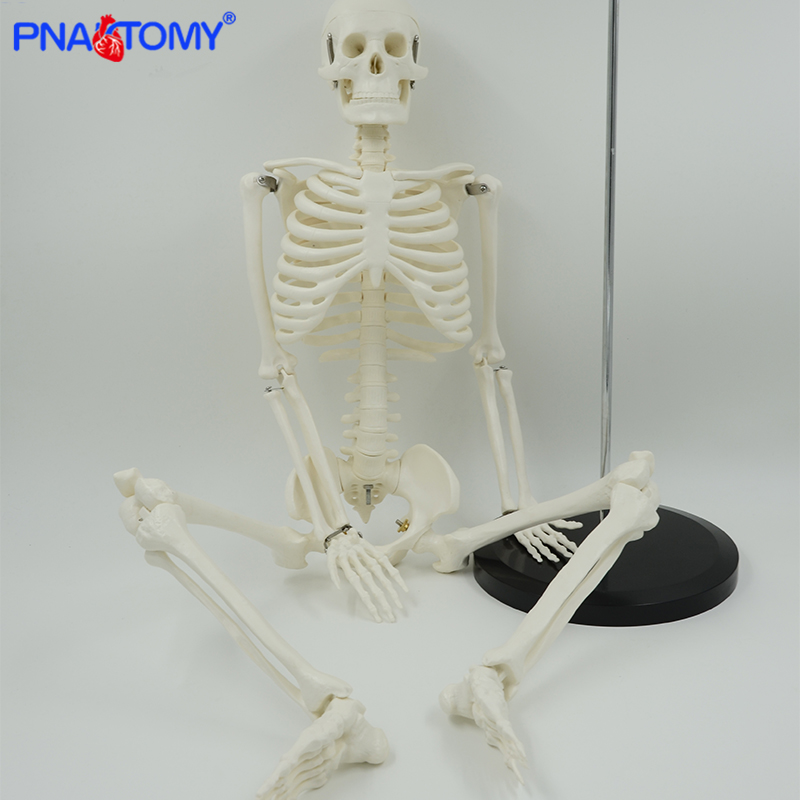 85cm Human Skeleton Model Flexible Arms And Legs For Arts And Medicine Study Skull And Spine Anatomy Medical Teaching Tool