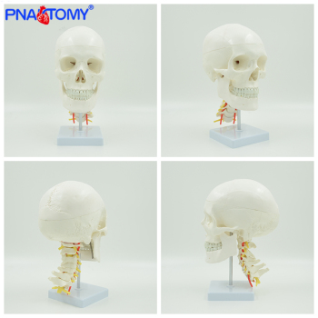 Human anatomical skull model life size skeleton head medical props anatomy tool teaching supplies artery and cervical vertebrae life size transparent canine skull model dog skull and teeth anatomy animal anatomical tool