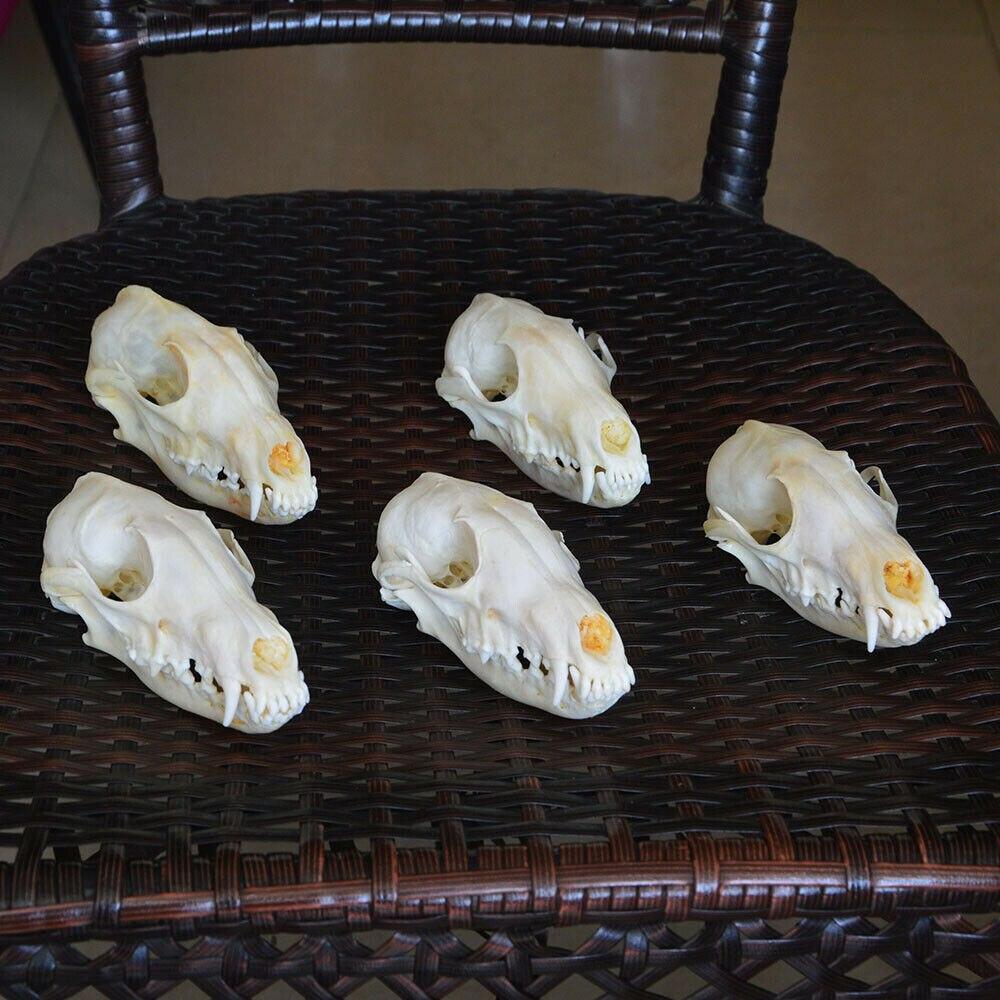 1 Uds., 2 uds., 5 uds., 10 Uds. Vulpes zorro rojo, zorro plateado, calavera de zorro cruzado taxidermia esqueleto de hueso real regalo de decoración navideña