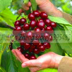 20pcs Japan Cherry Bonsai Plants Perennial Bonsai Fruit Tree Pot Plant Home Garden Planting Plantas Naturales