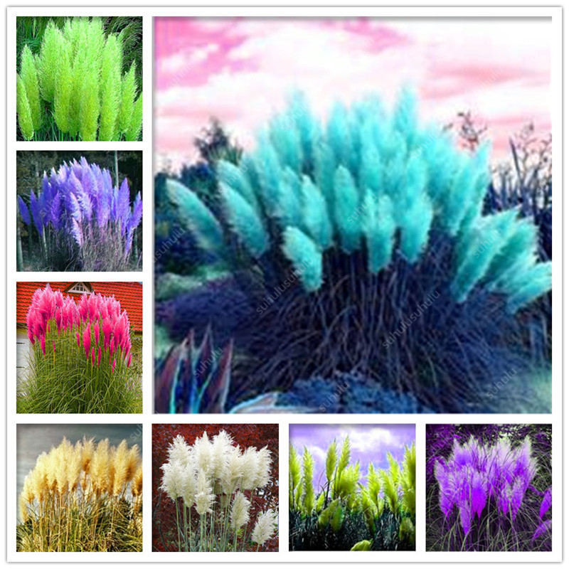 200 Pcs Pampas Grass Plantas Patio And Garden Potted Ornamental Plants New Flowers (pink Yellow White Purple) Cortaderia Grasses