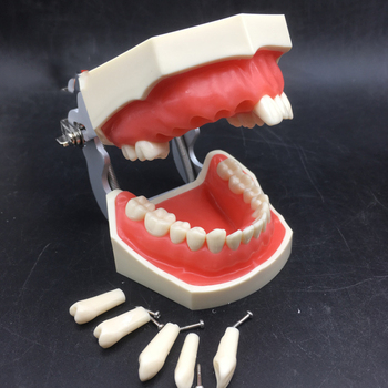 28pcs teeth Dental Teeth Model Dental Teaching Model Demonstration Removable Tooth Model For Teaching Simulation Model lower jaw of adult dentition model teeth dental model