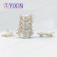 Анатомическая модель позвонка анатомическая разброс костей для