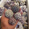 Раковины раковины 5-13 см различных размеров, восемь триграмм морской урчин украшения ландшафта аквариума ландшафта