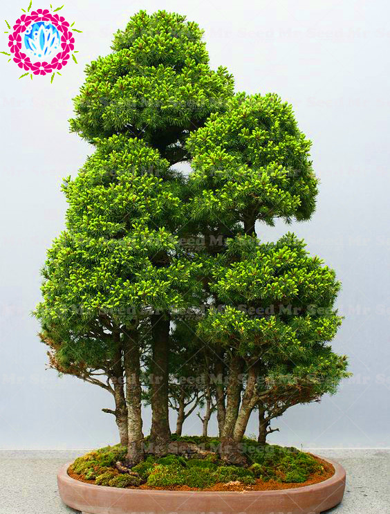 50Pcs Rare Bonsai Spruce Plant Picea Tree Courtyard Garden Pot Bonsai Plant Indoor Ornamental Evergreen Tree Species