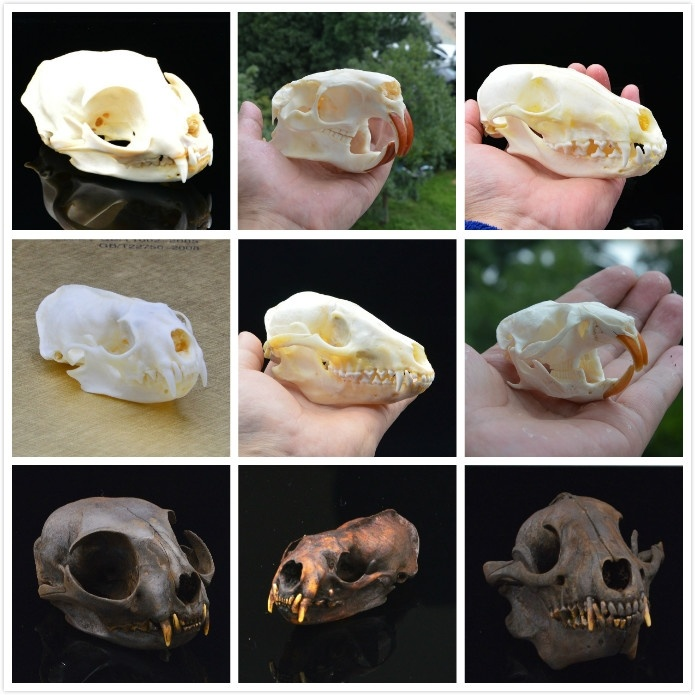 Racoon Dog Skull,Cat Skull,Coypu Skull,Muskrat Skull,Fox Skull,Raccoon Dog Skull,Mink Skull,taxidermy Skull Specimen Collection