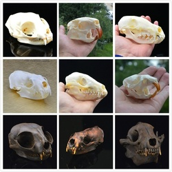 Racoon pellicce di Cane Del Cranio, Gatto teschio, Coypu del cranio, Topo Muschiato del cranio, di Volpe del cranio, del cane di Raccoon del cranio, visone del cranio, tassidermia Del Cranio di Raccolta dei campioni