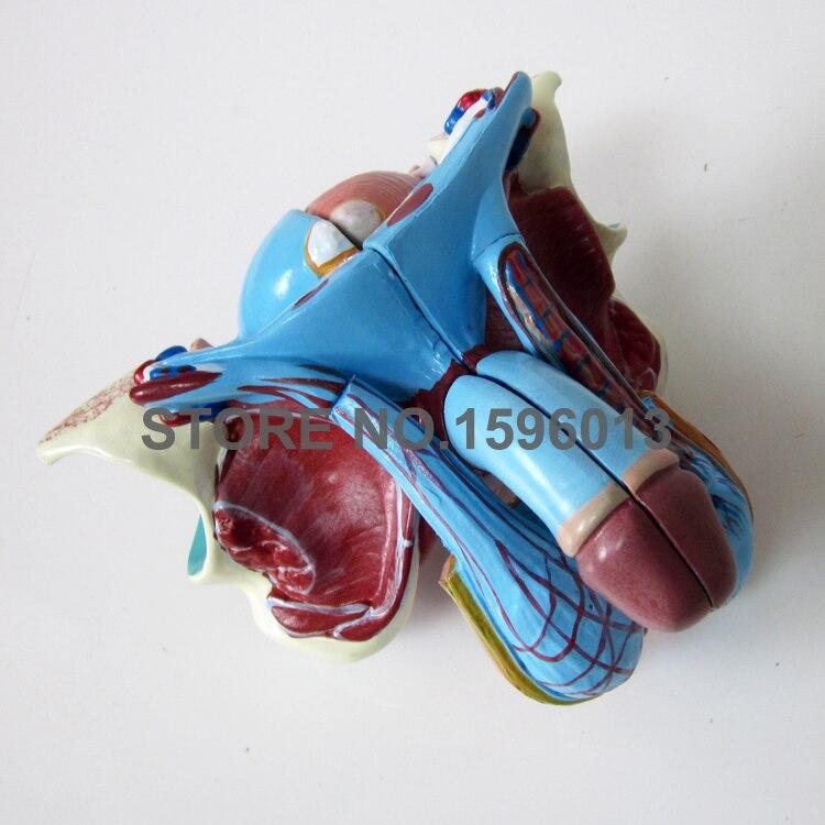 5-часть съемная для мужского полового органа и Органы модель пенис и мочевого пузыря анатомическая модель