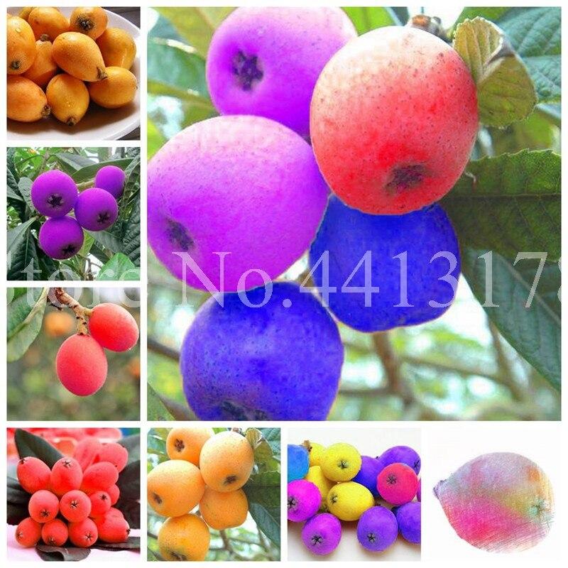 10 Pcs Loquat Fruit Tree Plant Eriobotrya Japonica Bush Tucker Chinese Bonsai Tree Eriobotrya Japonica Sweet Taste Nutrition