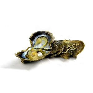 Image 3 - 4 Pieces Seawater Cultured Love Wish Pearl Oyster 6 7 mm Pearl Oyster for Gift