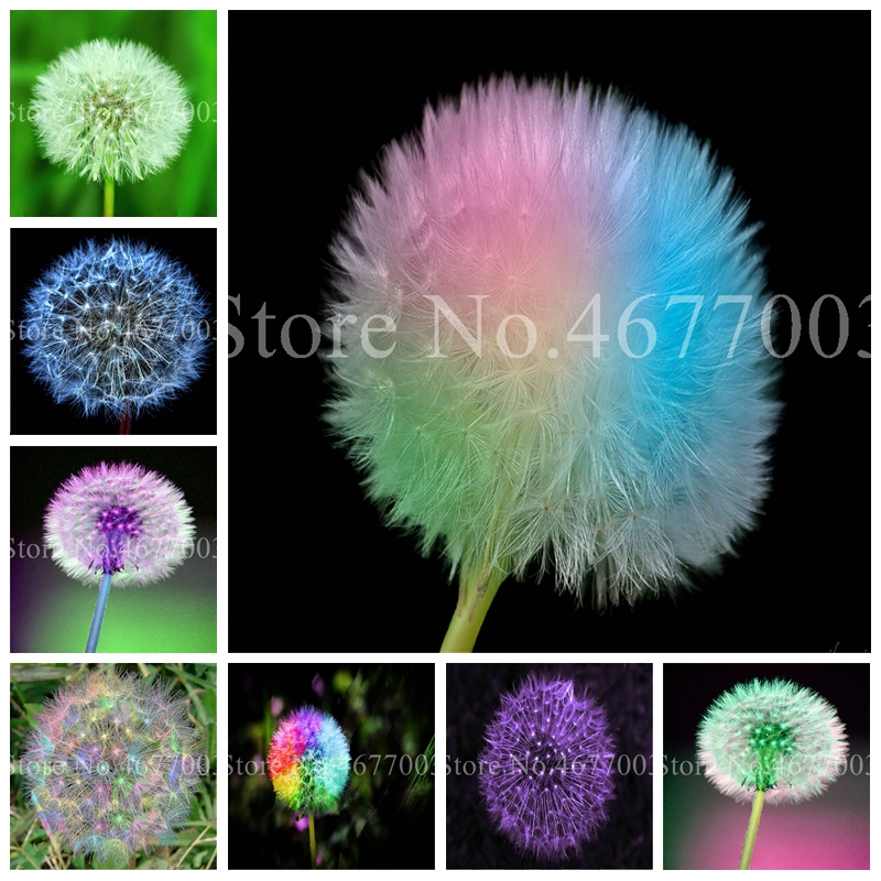 Taraxacum Mongolicum Flower Bonsai, Dandelion Beautiful Mongol Dandelion Bonsai Diy Home Garden Supplies Herb Plantas 100 Pcs
