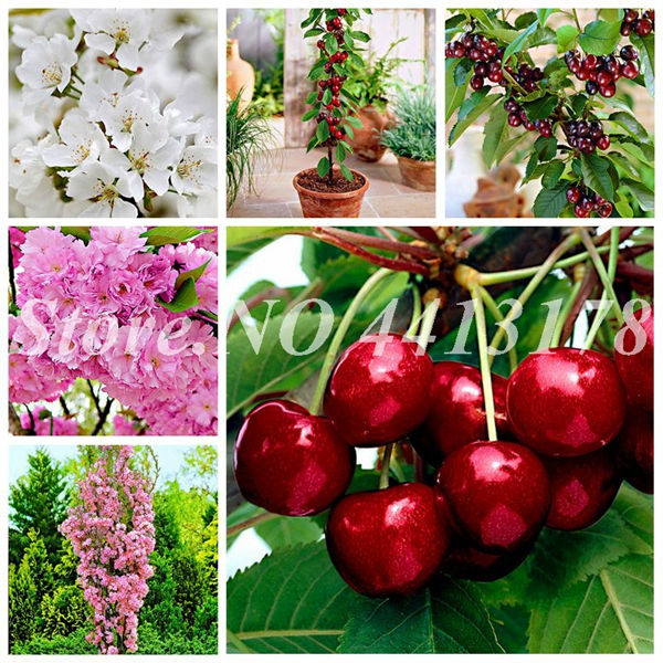 20 Pcs Cherry , Rare Organic Heirloom Fruit , Mini Cherry Bonsai Plant , Planta For Home Garden Easy To Grow