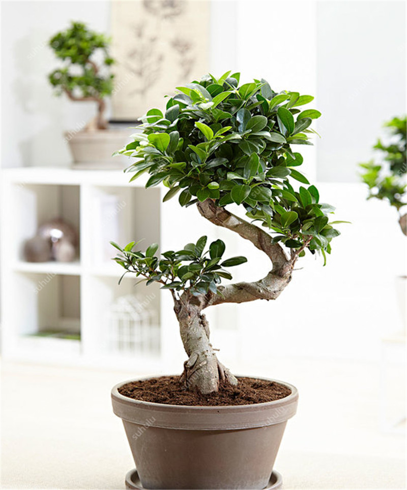 100 Pcs Banyan Tree Bonsai Ficus Ginseng Bonsai Chinese Rare Ficus Microcarpa Tree Green Bonsai For Home Garden Ornamental Plant