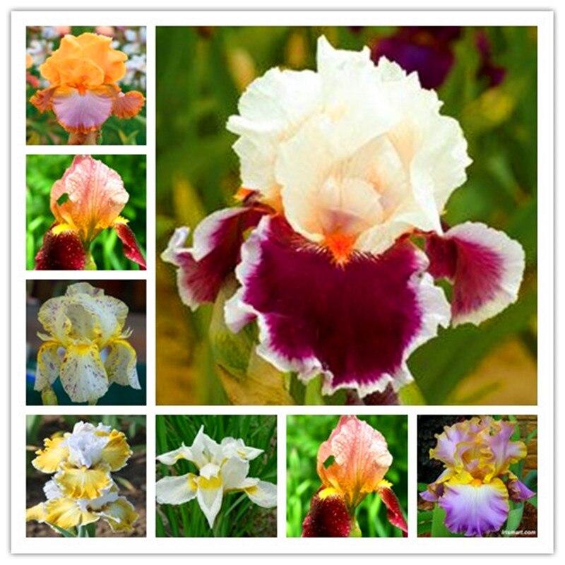 200 Pcs Bonsai Iris Flower Perennial Flower Rare Flower Bearded Iris , Nature Plants Orchid Flower DIY For Garden Purify The Air