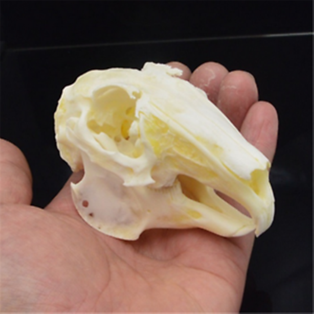 New Detailed Hedgehog Animal Skull Replica Taxidermy Study Unusual Prop Gothic