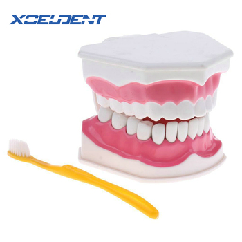 1 set teeth model brush teaching models Dental Adult standard oral model,early Educational for kids,tooth models