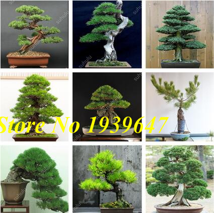 50pcs Mini Black Pine Bonsai, Indoor Plants Radiation Protection Bonsai, Japanese Pine Bonsai For Home Garden Potted Plant