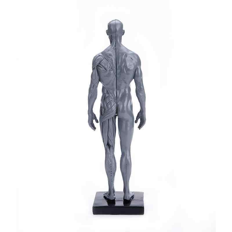 1:6 30cm 모델 인체 근육 수지 동상 조각 인간의 해부학 남성과 여성의 육체 해부학 공예 해부학 세트
