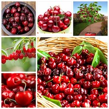 20 pcs/ bag Mini Cherry Flores Bonsai Tree Organic Natural Growth Fruit Plantas Pot for Home Garden Flower Fruta Pot Planters(China)