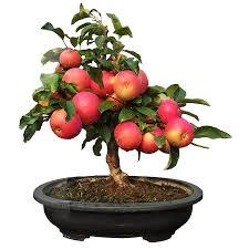 10 Pcs 7dwarf Star King Apple Japanese Tree Free Shipping
