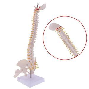 Image 2 - 45cm 생활 크기 척추 칼럼 인간의 척추 해부학 해부학 모델 해골 악기 의료 용품 도구