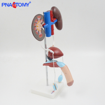 Life size male urinary system model bladder artery and vein anatomy medical teaching tool hospital used kidney  PNATOMY expansion model of urinary bladder bladder anatomical model