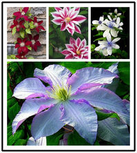 Free shipping clematis flowers mix, clematis plant bonsais, not the clematis rooted or bulbs, 200pcs/bag(China)