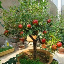 Rare 30 Pcs Pomegranate Potted Bonsai Fun Red Lantern Fruit Nutritious Multi-grain Easy-to-Grow Fruit Hot Sale(China)