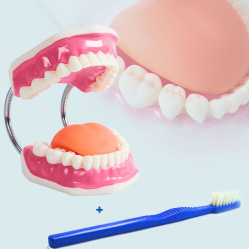 Early Dental Anatomy Model Tooth Care Brushing Instruction Model Oral Health Care Teaching MYC004