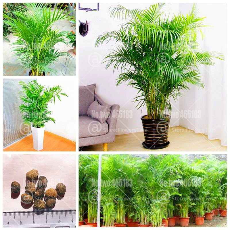 Indoor Plants Rare Chrysalidocarpus Lutescens Bonsai Home Decoration Areca Palm Bonsai Butterfly Palm Plants Pot 5 Pcs