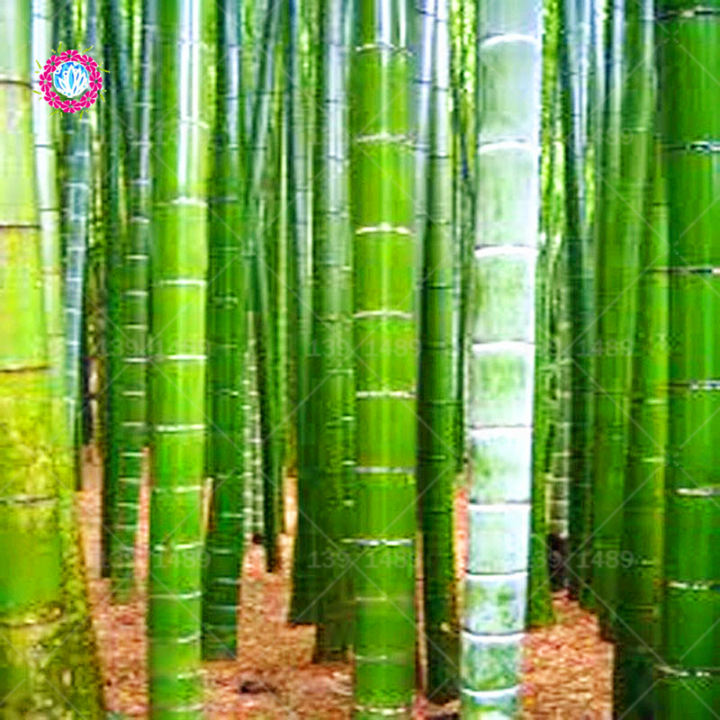 40pcs/bag Chinese Moso Giant Bamboo Bonsai Phyllostachys Heterocycla Pubescens-Giant Moso Bamboo DIY Home Garden Pot Plants
