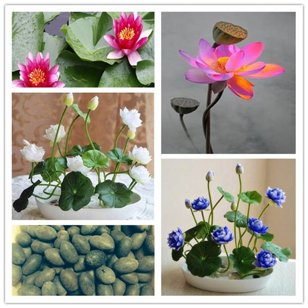5pcs/lot Japanese Lotus Flower Bowl Hydroponic Water Lily Exotic Aquatic Plants, Rare Flower Bonsai Plant For DIY Home Garden