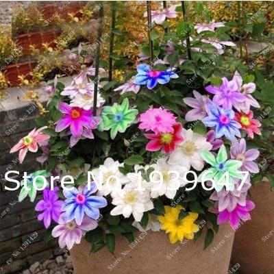 100 Pcs Clematis Clematis Bonsai True Rare Plant Natural Growth Outdoor Plant Bonsai Home Garden DIY Plant Best Birthday Gift