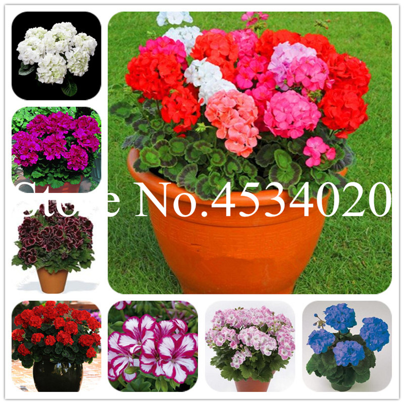 Hot Sale! 100 Pcs Mix Colorful Geranium Flowers Bonsai Plants Pelargonium Perennial Flowers Decoration Home Garden Plants