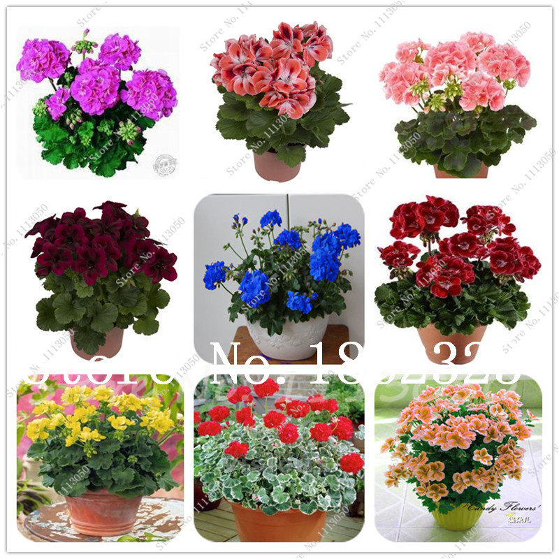 100 Pcs Mixed Color Geranium Bonsai Potted Balcony Planting Seasons Pelargonium Potted Flower Bonsai For Indoor Bonsai