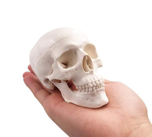 Small Plastic Art Skull Human Anatomical Anatomy Head Sketching Drawing Model Painting Teaching Tool You Choose Quantity