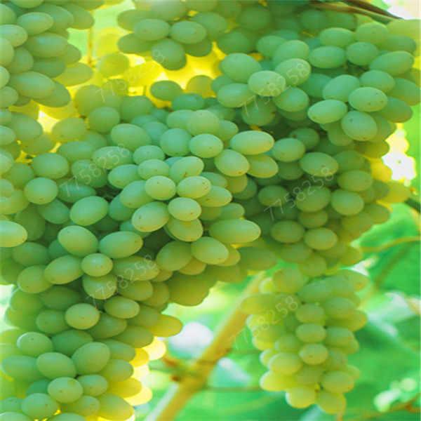 100 pcs Green Grape plants Grape Tree bonsai Grows Fruits Bonsai sweet and delicious fruit Non-GMO Edible food for Home garden