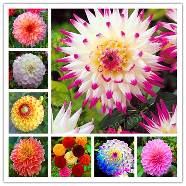 100 Pcs Mixed Color Rainbow Dahlia Bonsai Chinese Indoor Bonsai Flower Plants Many Colors To Choose For Home Garden Plantting