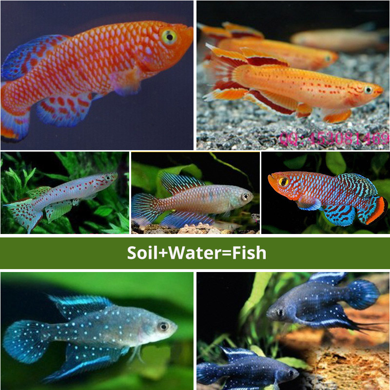 Magic ground Angel fish Egg in soil Hatching earth real fish Pet Biology Educational Learning Toys for Student Kid Boy Girl Gift