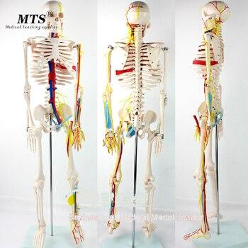85cm Medical Human Model Heart Artery Spine Human Manikin model body meridians clear Medical Teaching
