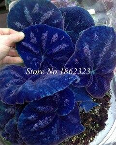 Free Shipping 200pcs Rare Coleus Blumei plant,Rare Flower bonsai Potted Begonia Plants for Garden Balcony Coleus plant For Sale
