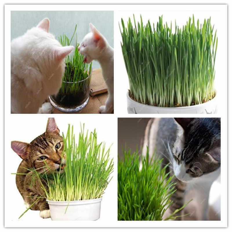 Big sale!Free Shipping 1000 pcs Cat Grass Bonsai Foliage Plant Bonsai Wheat Grass Mint Smell Superior Cat Food For Your Pet