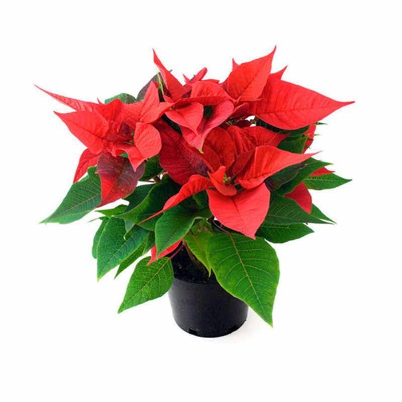 """100 шт./пакет импортные Пуансеттия (Рождественская звезда) """"сделай сам"""" в горшках и изображениями красочного цветка в закрытом помещении и на открытом воздухе Флор Декор для дома и сада для цветочного горшка кашпо"""