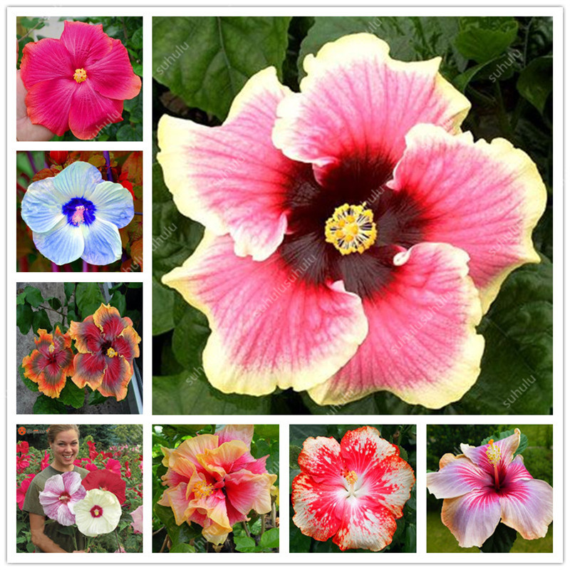 100 Pcs Hibiscus Bonsai Indoor Plants Flower Plant, Perennial Outdoor Bonsai Flower Plant Purifying Air For Home Garden Decor
